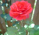 love-delicate-red-rose-in-lil